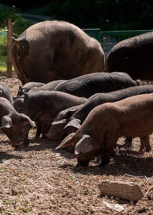 Cochons pure race sur pied à vendre